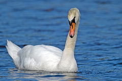 Mute Swan. Floating on serene lake royalty free stock images