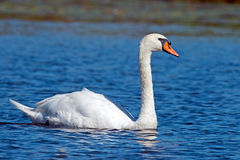 Mute Swan. Floating on water stock image