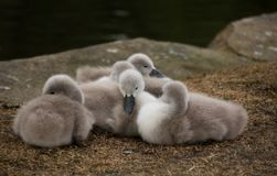 Mute Swan Fluffy Cygnets. Only Few Weeks Old Mute Swan Fluffy Cygnets on Rocky Shore at Public Glasgow, Scotland royalty free stock photo