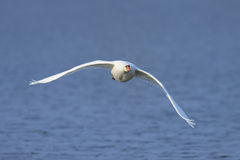 Mute swan flying Royalty Free Stock Photos