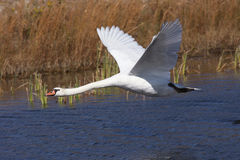 Mute Swan Flying Stock Images
