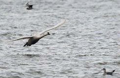 Mute Swan flying Royalty Free Stock Image