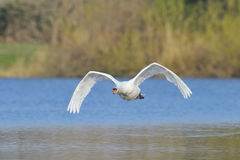 Mute swan flying Stock Image