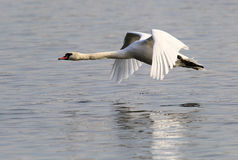 Mute Swan flying Stock Photos