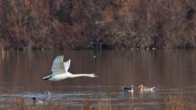 A mute Swan flying over the water Stock Photo