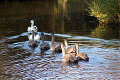 Mute swan following each other Stock Photos