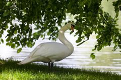 Mute swan on glade Royalty Free Stock Photo