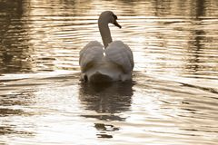 A mute swan in the golden morning sunshine stock photos