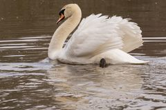 A mute swan in the golden  morning sunshine Royalty Free Stock Image