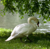 Mute swan on grass Stock Photography