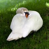 Mute swan on green grass Royalty Free Stock Photos
