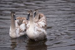 Mute swan grown-up cygnets. In the river. Nature scene stock photo