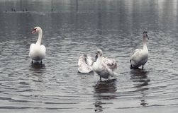 Mute swan and grown-up cygnets. Mute swan with its grown-up cygnets in the river. Nature scene royalty free stock photos