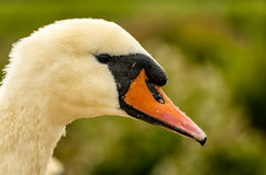 Mute Swan Head. Close up of a Mute Swan's Head Stock Photos