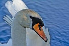 Mute swan head closeup (Cygnus) Stock Images