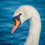 Mute swan Royalty Free Stock Image