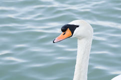 Mute Swan Head Royalty Free Stock Images