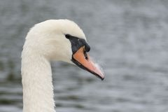Mute swan head and neck royalty free stock photo