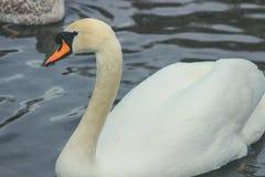 Mute swan head shot, Cygnus olor, beautiful animal that was in Ireland royalty free stock photo