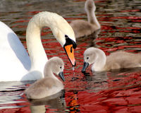 Mute Swan And Her Young Stock Images