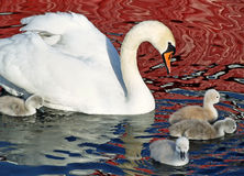 Mute Swan and Her Young Stock Photography