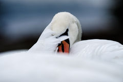 Mute Swan Hiding Behind Her Feathers Stock Photo