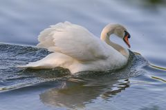 Mute swan in Howarth Park / Trione-Annadel State Park in Santa Rosa, California royalty free stock images