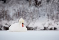 Mute Swan on ice in winter Royalty Free Stock Photography