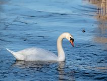 Mute Swan On icy Lake stock image