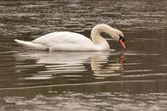 A mute swan on icy water royalty free stock photos