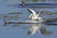 Mute Swan In Fight Royalty Free Stock Image
