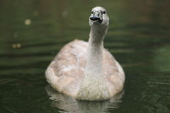 Mute swan juvenile Stock Photo
