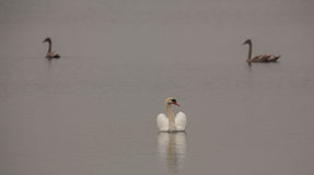 Mute Swan with juvenile Royalty Free Stock Photos