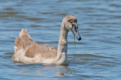 Mute Swan Juvenile Stock Photography