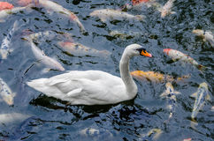 Mute Swan and koi fish. The mute swan (Cygnus olor) is a species of swan, and thus a member of the waterfowl family Anatidae. It is native to much of Europe and Royalty Free Stock Photos