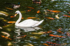 Mute Swan and koi fish Royalty Free Stock Images
