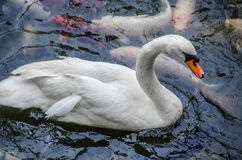 Mute Swan and koi fish Stock Photo