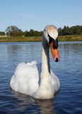 Mute swan in a lake Stock Photos
