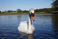 Mute swan in a lake Stock Image