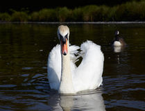 Mute swan in a lake Royalty Free Stock Photo