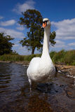 Mute swan in a lake Royalty Free Stock Images