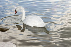 Mute Swan on Lake Stock Photography
