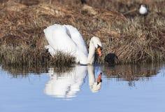 Mute Swan at a lake Royalty Free Stock Photo