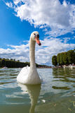 Mute Swan on a lake Royalty Free Stock Image