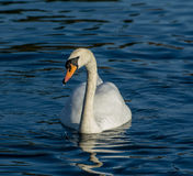 Mute Swan on a lake in Bedfordshire Stock Images