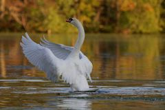 Mute Swan on a Lake in Fall Royalty Free Stock Images