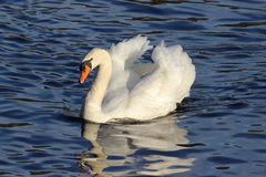 Mute Swan on the Lake Royalty Free Stock Image
