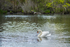Mute Swan Lake, Male Busking. A lonely bachelor male white mute swan with orange beak busking as he slowly swims across a green lake by the trees in the woods in royalty free stock image