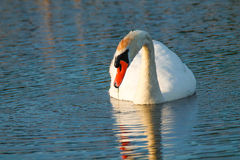 Mute swan. In lake with reflection Stock Images
