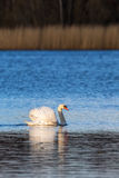 Mute swan in a lake Royalty Free Stock Image